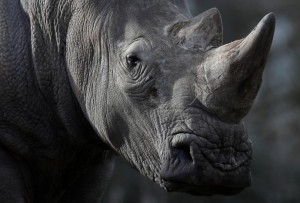 White rhinoceros Bruno is seen in his enclosure at Thoiry zoo and wildlife park, about 50 km (30 miles) west of Paris, France, March 7, 2017. REUTERS/Christian Hartmann