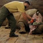 rhino de-horned