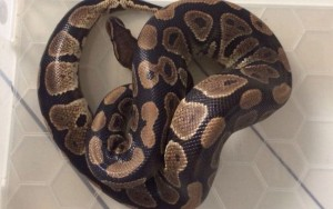 baby python