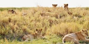 lions-278365_1280