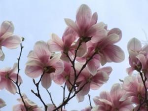 magnolia mulan