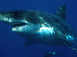 great-white-shark-398276_1280